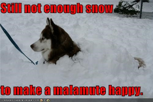dissatisfied,FAIL,happy,malamute,not enough,requirement,snow,still