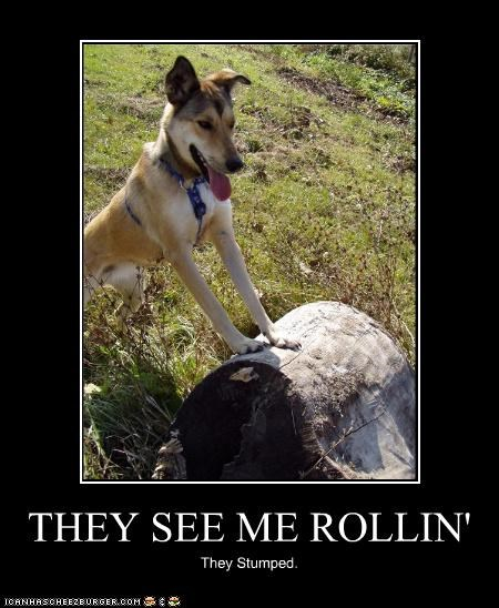 german shepherd log mixed breed pun rolling song stump stumped they see me - 4349981184