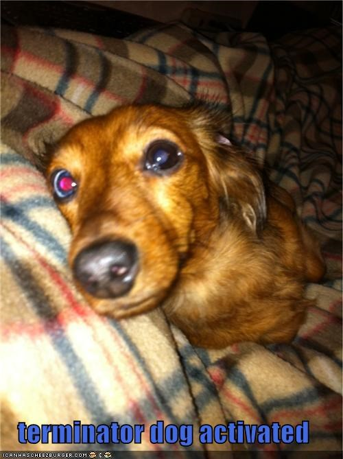 activated,crazy,dachshund,eye,terminator
