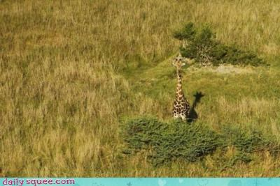 acting like animals camouflage comparison FAIL giraffes stealth sticking out subtlety - 4350110208
