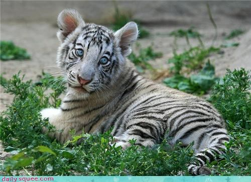 baby blue eyes tiger cub white tiger - 4350390784