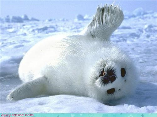 baby,flippers,harp seals,ice,seal,seals,snow,squee,waving,whiskers