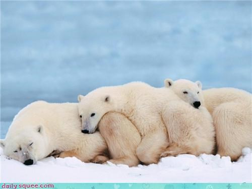 Conga line,ice,nap,polar bear