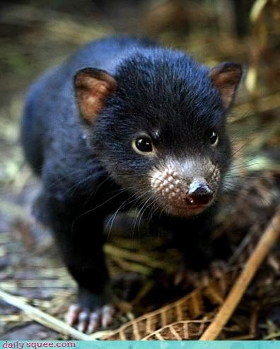 baby,black,fierce,squee,Tasmanian Devil,tasmanian devils,whiskers