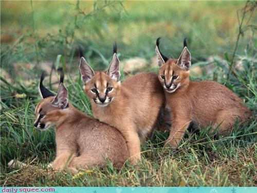 Babies cat ears lynxes wildcat - 4350505728