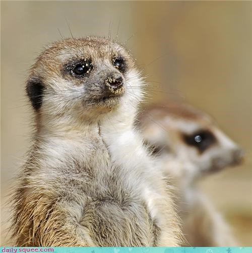 Meerkats nose sand squee whiskers - 4350509056