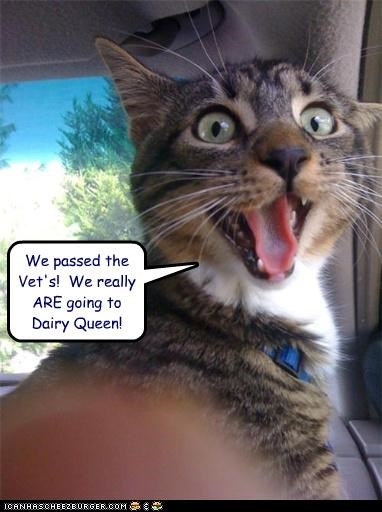 caption captioned cat dairy queen destination driving excited going humans passing truth vet - 4350541568