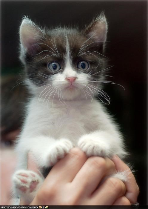 black and white cyoot kitteh of teh day hands omg surprised the lion king wide eyed - 4350689792