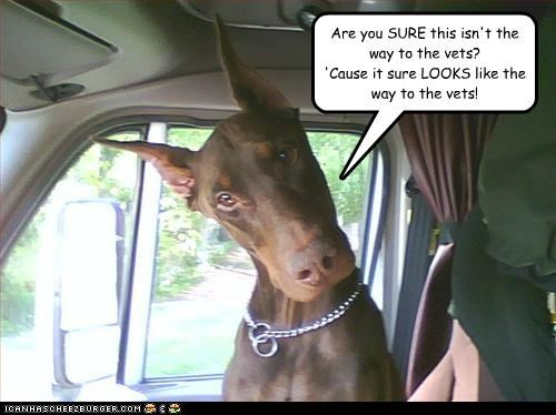 are you sure,car,confused,directions,doberman pinscher,driving,mixed breed,question,suspicious,vet