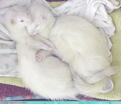 cuddles,ferret,Hall of Fame,sleeping,spooning,white