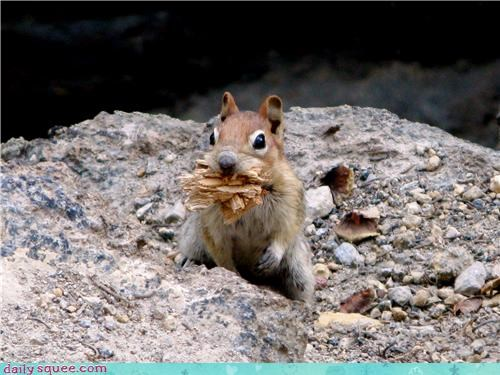 chipmunk mouthful rocks snack woodchucks