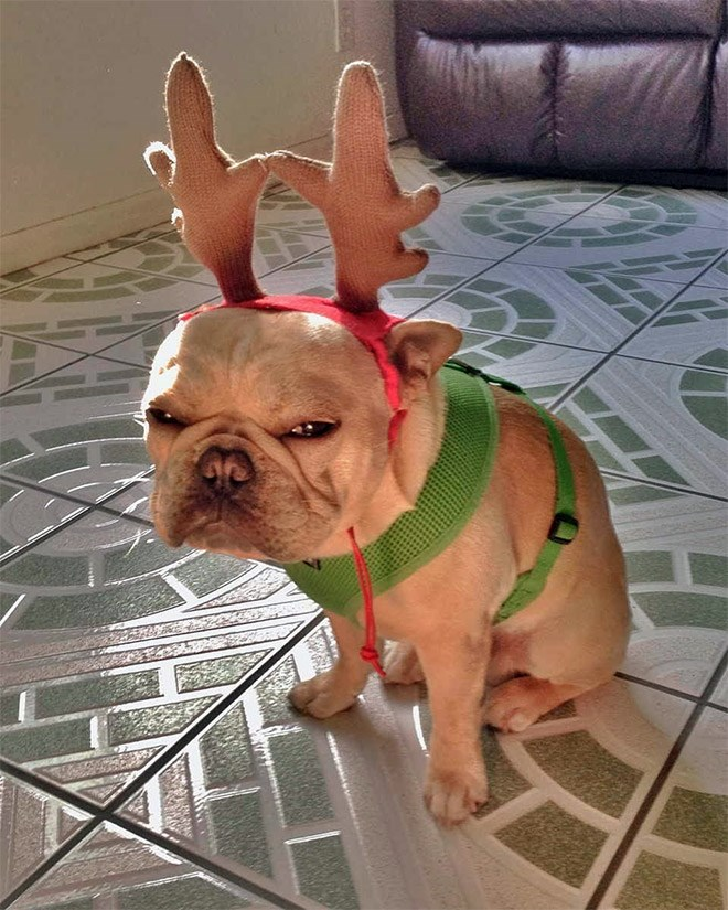 cute christmas reindeer dog