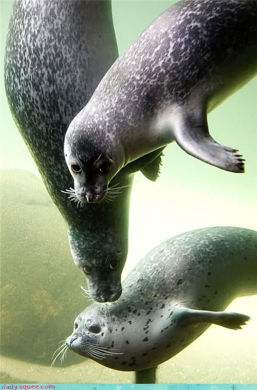 pose seals swimming underwater