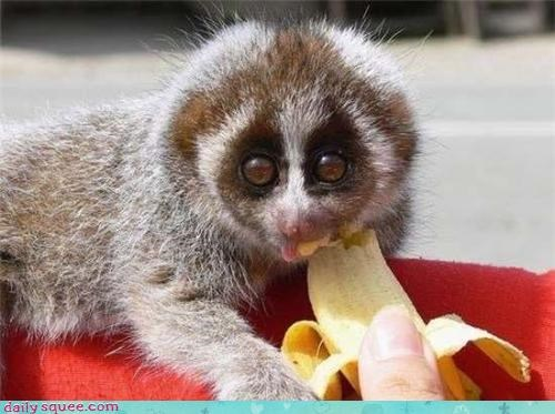 banana,bananas,eat,eating,food,loris,Slow Loris,squee,squee spree,winner
