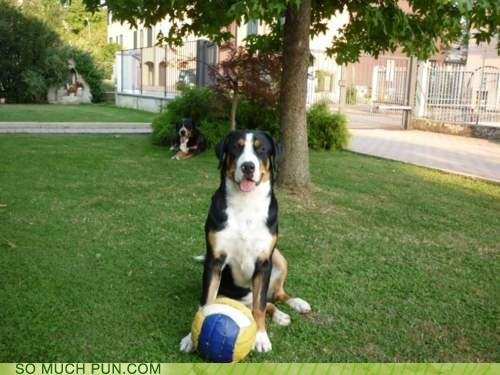 ball beaming dogs excited fetch greater swiss mountain dog happy proud retrieval standing success themed goggie week - 4352938496
