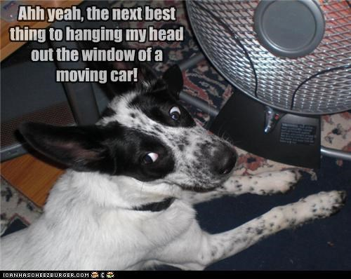 alternative best car content excited fan hanging happy head jack russell terrier mixed breed moving next thing window
