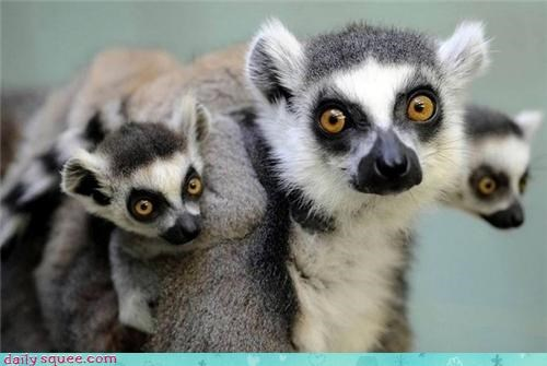 Babies family lemur lemurs mommy moms piggy-back ride primate ring tailed squee