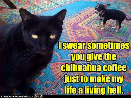 caption captioned cat chihuahua coffee cruel displeased Hall of Fame i swear intentions mean suspicions suspicious swearing trick upset - 4354278656