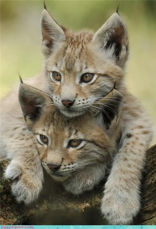 cat kitten lynx - 4356024576