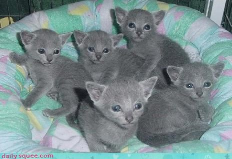 cat cute kitten russian blue squee spree - 4356036096