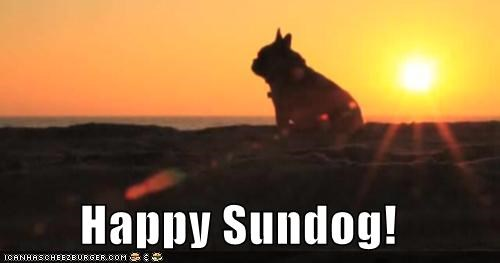 content,french bulldogs,gazing,happy,happy sundog,silhouette,Sundog,sunset