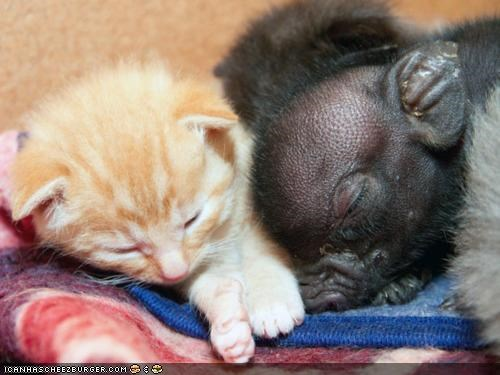 cyoot kitteh of teh day,Interspecies Love,pig,piglet