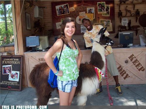 alpaca animals awesome keep dry photobomb that guy - 4358867712