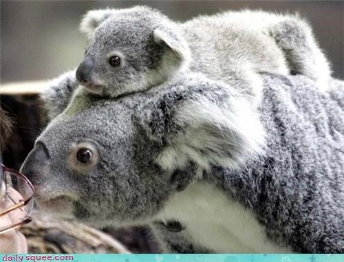 baby,Joey,koala,koala bears,koalas,mommy,moms,piggy-back ride
