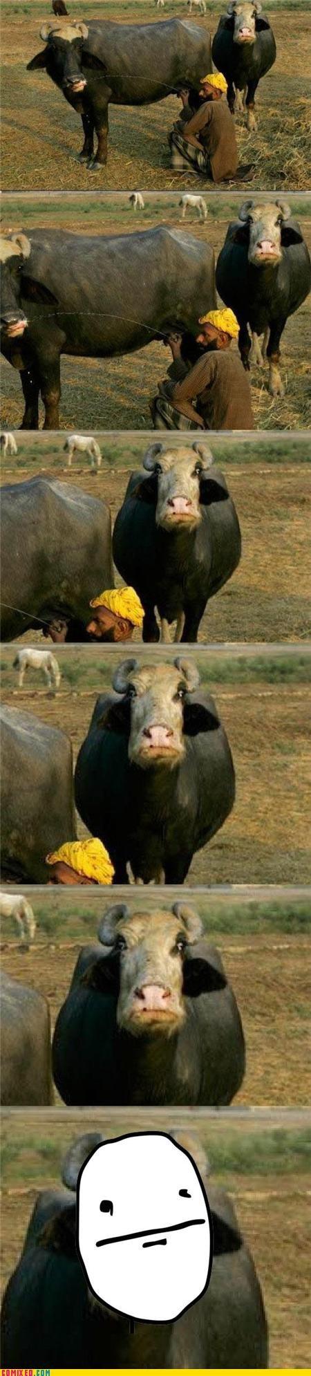 animals cows makes sense poker face recycling wtf - 4362365952