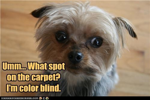 afraid,carpet,color blind,excuse,fear,lying,nervous,playing dumb,question,spot,yorkshire terrier