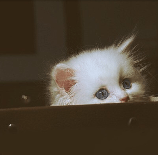 cute white kitten with big eyes