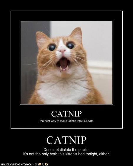 CATNIP Does not dialate the pupils. It's not the only herb this kitteh's had tonight, either.