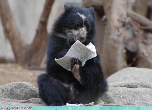 acting like animals,bear,coffee,morning,paper,perched,reading,relaxing,routine,sitting,sun bear,waking up