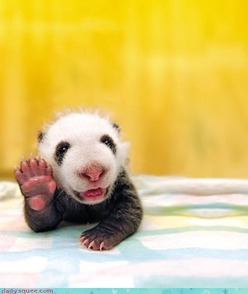 acting like animals,baby,celeb,content,cub,greetings,happy,hugs,life,living,love,ohai,panda,paw,tiny,waving