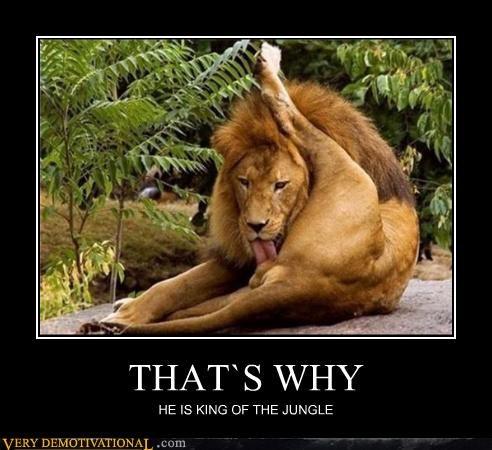 animals jungle king lion lions tongue - 4368503040