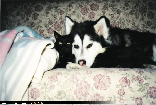 black,blanket,cat,contrast,couch,cuddles,cuddling,husky,kittehs r owr friends,matching,puppy,white