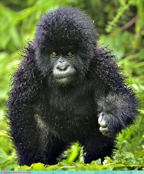 cute gorilla monkey perm - 4369067520