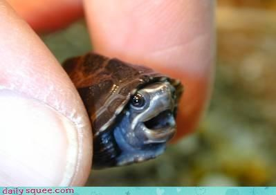 baby baby turtle cute turtle - 4369112064