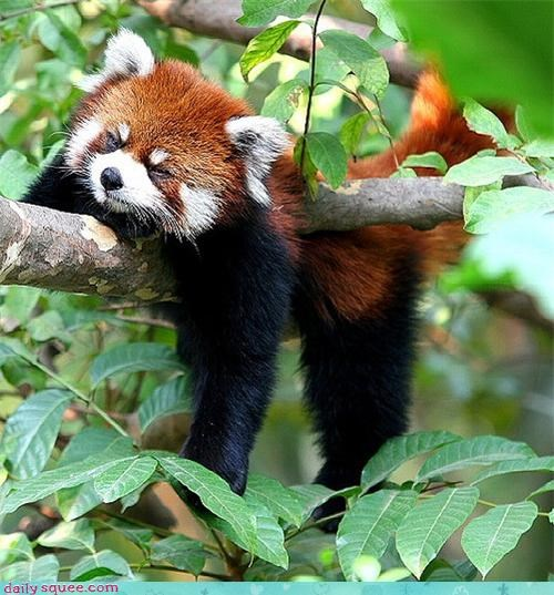 cute,nap,red panda,sleep