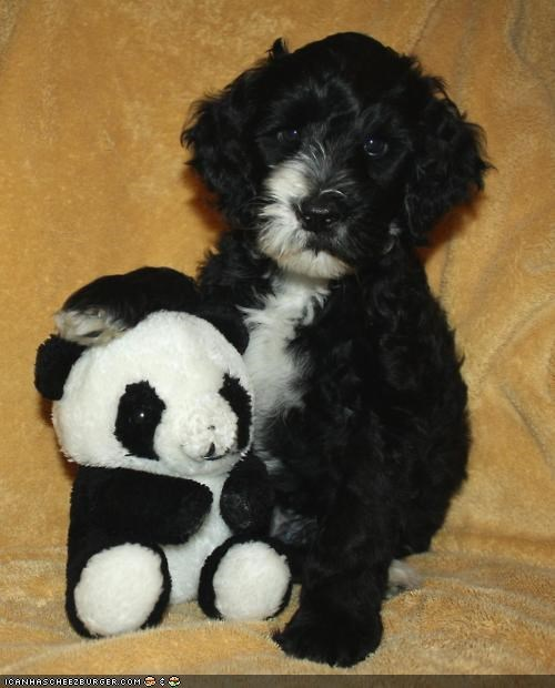 brother,brothers,cuddling,cyoot puppeh ob teh day,mothers,panda,portuguese waterdog,puppy,stuffed animal