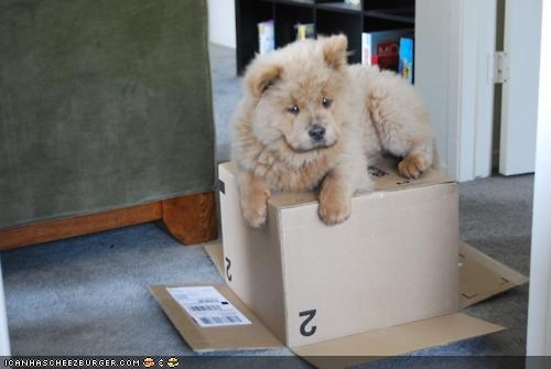 box chow chow chow cyoot puppeh ob teh day dangling mine ownership paws perched puppy sitting - 4369343488