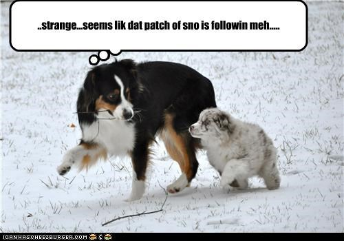 australian shepherd,following,patch,puppy,snow,strange,walking
