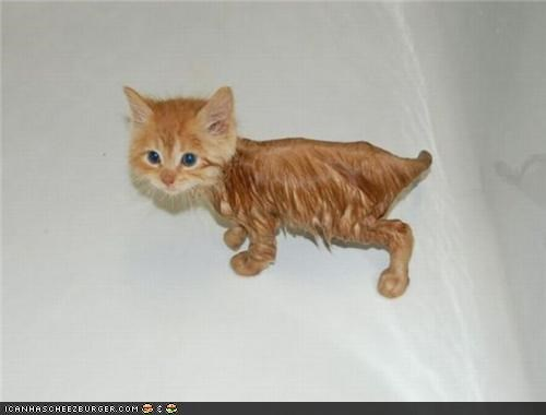 bath,cyoot kitteh of teh day,lion,orange,wet