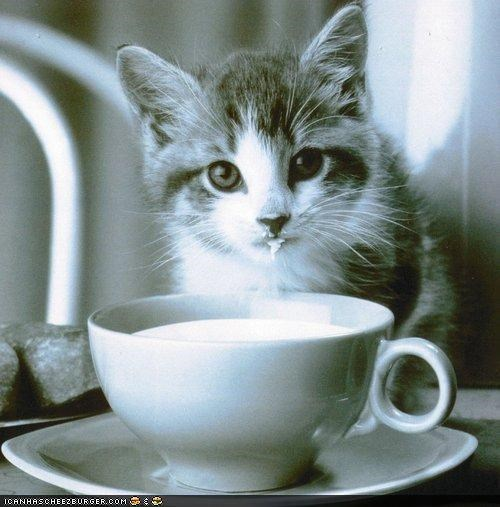 cyoot kitteh of teh day drink drinking messy milk teacup - 4370470400