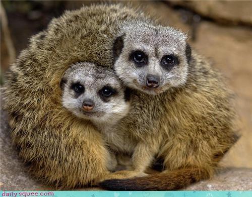 cute face meerkat - 4370731008