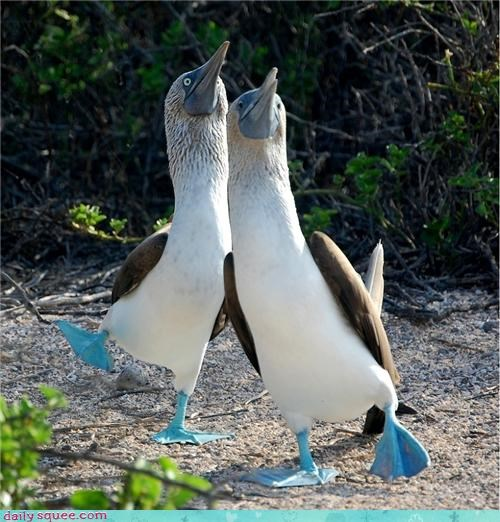 bird,blue-footed booby,booby,dance