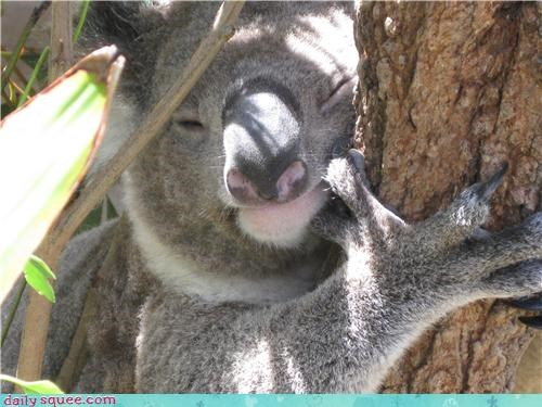 hold,koala,marsupial,squee spree,tree,wink