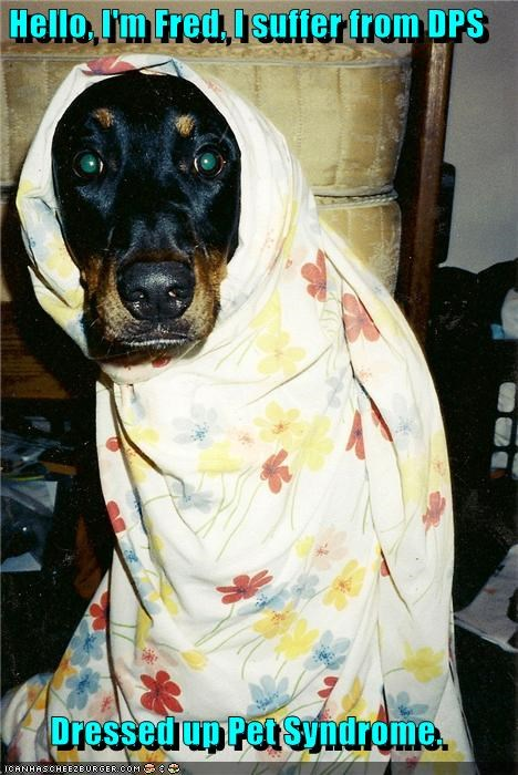 blanket covered DPS dressed up pet problem rottweiler Sad suffer suffering syndrome - 4372393472