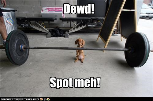 dachshund dude Hall of Fame lifting masculine puppy spot me weights working out - 4373161984