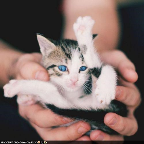cyoot kitteh of teh day,handful,hands,kitten,palm